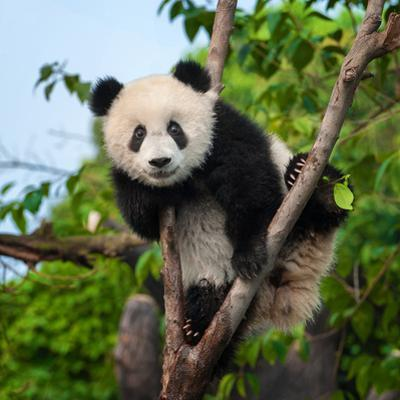 Cute Panda Bear Climbing Tree in Forest by Hung Chung Chih