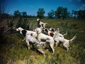Hunting Dogs on Point