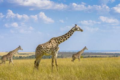 Trio Giraffes by Husain Alfraid