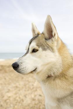 Husky Dog Portrait on Beach