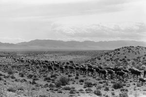 Cattle Drive through Desert by Hutchings S.