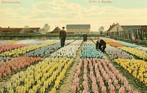 Hyacinth Garden, Haarlem, Holland