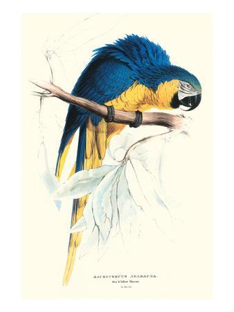 https://imgc.allpostersimages.com/img/posters/hyacinthine-macaw-hyacinthine-anodorhynchus-leari_u-L-PGG2V80.jpg?artPerspective=n