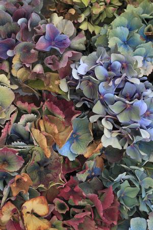 https://imgc.allpostersimages.com/img/posters/hydrangeas-in-garden-portland-oregon-usa_u-L-PN6QAX0.jpg?p=0