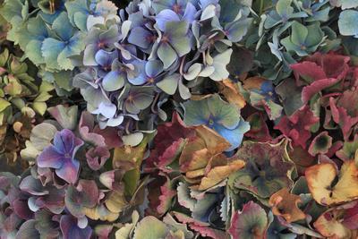 https://imgc.allpostersimages.com/img/posters/hydrangeas-in-garden-portland-oregon-usa_u-L-PXR7LZ0.jpg?p=0