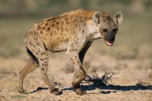 Hyena Walking in Morning Sun