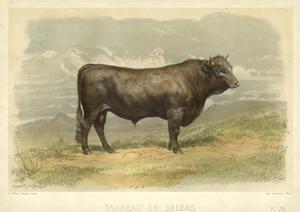 Taureau De Salers by I. Bonheur