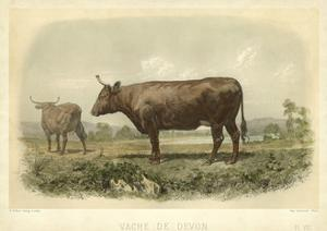 Vache De Devon by I. Bonheur