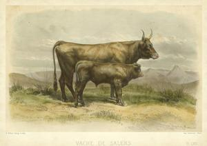 Vache De Salers by I. Bonheur