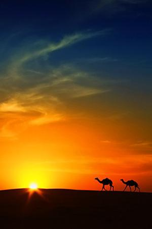 Silhouette of Camels at Sunset,Saudi Arabia