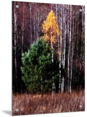 Evergreen Golden and Birch Trees in Autumn by I.W.