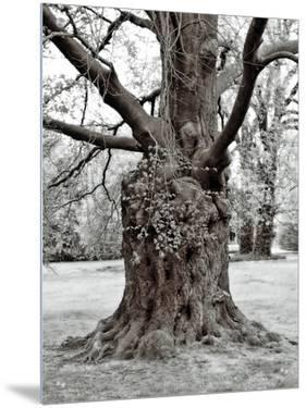 Large Gnarled Old Tree by I.W.
