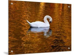Swan Gliding on the Golden Lake by I.W.