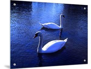 Two White Swans Floating in Water with Reflections at Dusk by I.W.