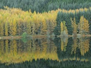Autumn Larch Trees Reflected in Loch Meig, Strathconon by Iain Sarjeant