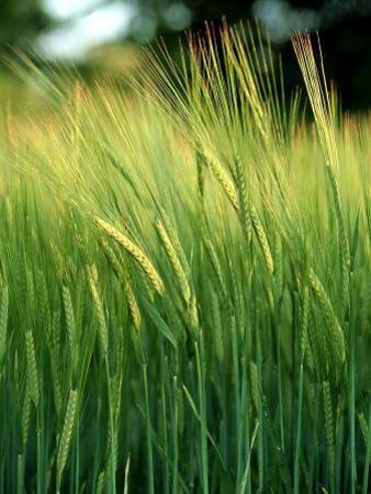 Barley in Summer, Scotland by Iain Sarjeant