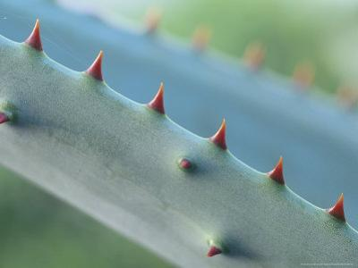 Cactus Detail, Aloe Marlotthii by Iain Sarjeant