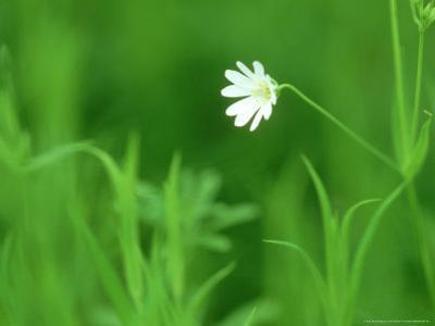 Greater Stitchwort, Ross-Shire, Scotland by Iain Sarjeant