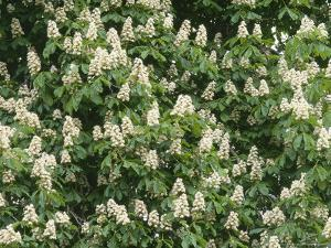 Horse Chesnut in Flower, Aesculus Hippocastanum by Iain Sarjeant