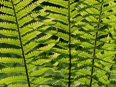 Male Fern, Inverness-Shire by Iain Sarjeant