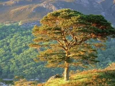 Scots Pine Tree, Ross-Shire, Scotland by Iain Sarjeant