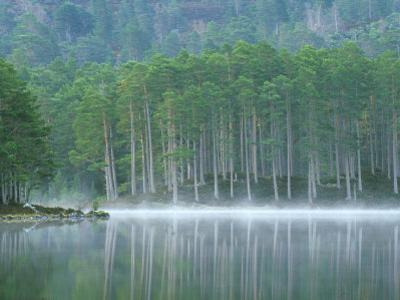 Scots Pine Woodland, Scotland by Iain Sarjeant