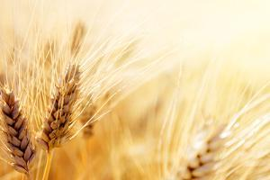 Wheat Field by Iakov Kalinin