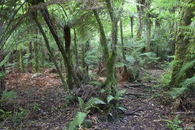 Forest on Kauaeranga Kauri Trail