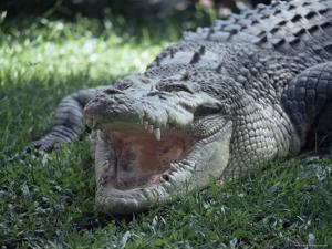 Twenty Four Foot Saltwater Crocodile (Crocodilus Porosus), Hartleys Creek, Queensland, Australia by Ian Griffiths