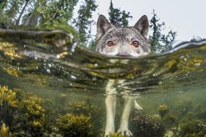 British Columbia, Canada. A coastal wolf investigate a photographer's camera. by Ian McAllister
