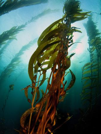 Channel Islands National Park, California: the View Underwater Off Anacapa Island of a Kelp Forest by Ian Shive