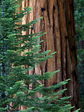 Giant Sequoia's - Sequoia National Park, California by Ian Shive