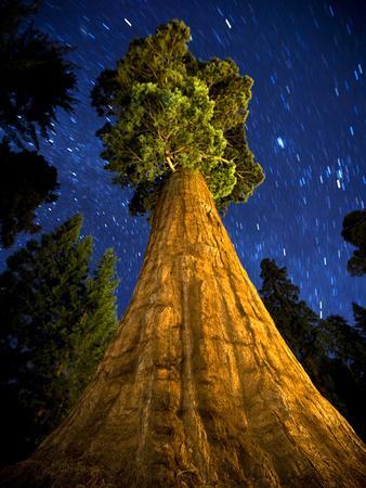 Giant Sequoia under the Milky Way