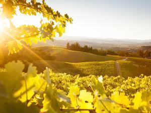 Healdsberg, Sonoma County, California: Sunset on Northern California Vineyards. by Ian Shive
