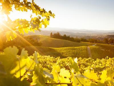 Healdsberg, Sonoma County, California: Sunset on Northern California Vineyards.