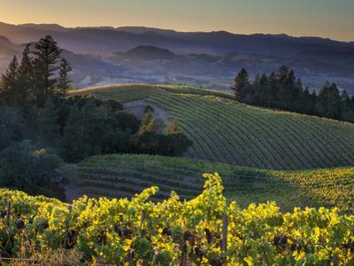 Healdsberg, Sonoma County, California: Vineyard and Winery at Sunset.