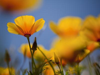 Santa Rosa Island, Channel Islands National Park, California: California Poppy