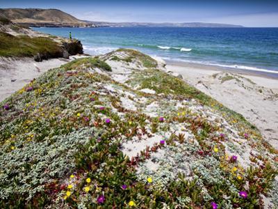 Santa Rosa Island, Channel Islands National Park, California. Wildflowers.