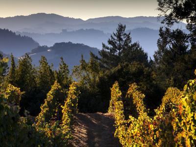 Sonoma Vineyard No.2 by Ian Shive