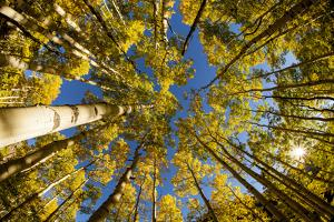 Telluride, Colorado: Fish-Eye View Of Golden Aspen Trees At The Peak Of Autumn by Ian Shive