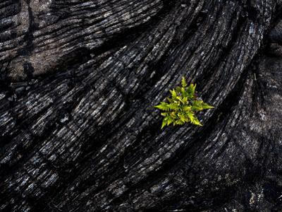 Volcanoes National Park, Hawaii: a Fern Stands in Stark Contrast to the Hardened Pa'Hoehoe Lava.