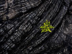 Volcanoes National Park, Hawaii: a Fern Stands in Stark Contrast to the Hardened Pa'Hoehoe Lava. by Ian Shive