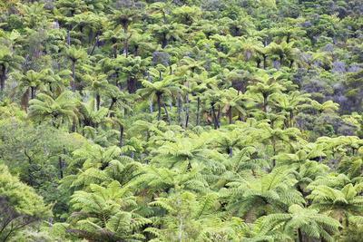 Strand of Tree Ferns on Waiomu Kauri Grove Trail