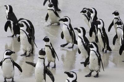 African penguins (Jackass penguins) on Boulders Beach, Simon's Town, Cape Town, Western Cape, South