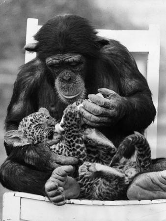Feeding Cub by Ian Tyas