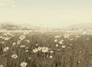 Field of Daisies by Ian Winstanley