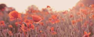 Field of Poppies by Ian Winstanley