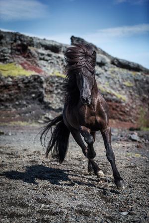 https://imgc.allpostersimages.com/img/posters/icelandic-black-stallion-iceland_u-L-PWEE500.jpg?p=0