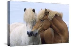 Icelandic Horse Two Smelling Each Other in Communication