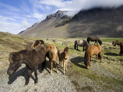 https://imgc.allpostersimages.com/img/posters/icelandic-horses-with-volcanic-mountains-in-the-distance-south-iceland-iceland-polar-regions_u-L-PFO5D20.jpg?p=0